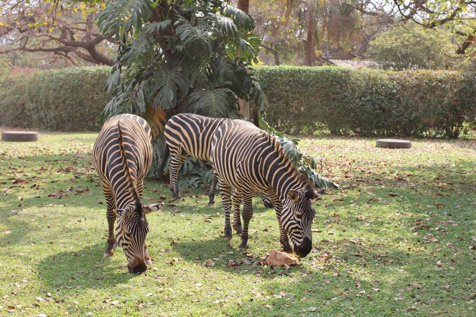 Three Zebras in Zambia