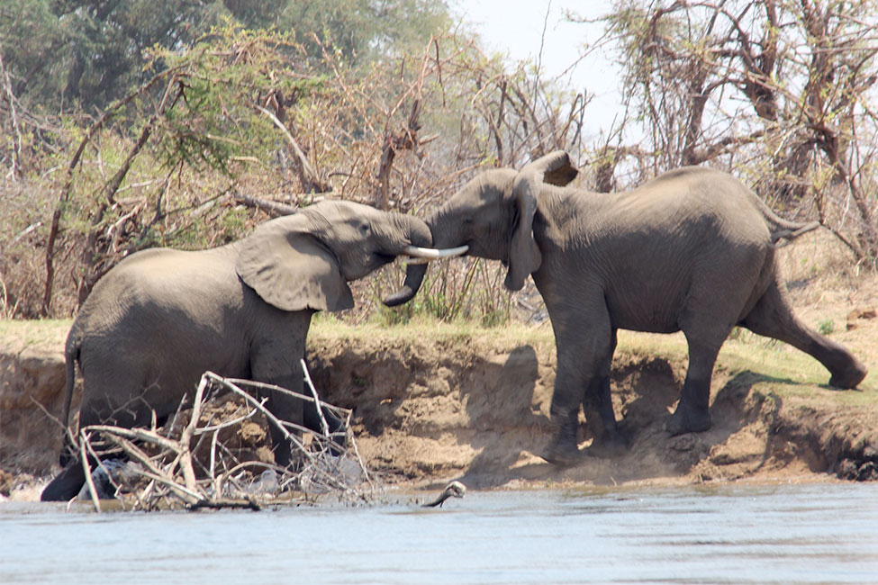 Two elephants playing with each other in Zambia
